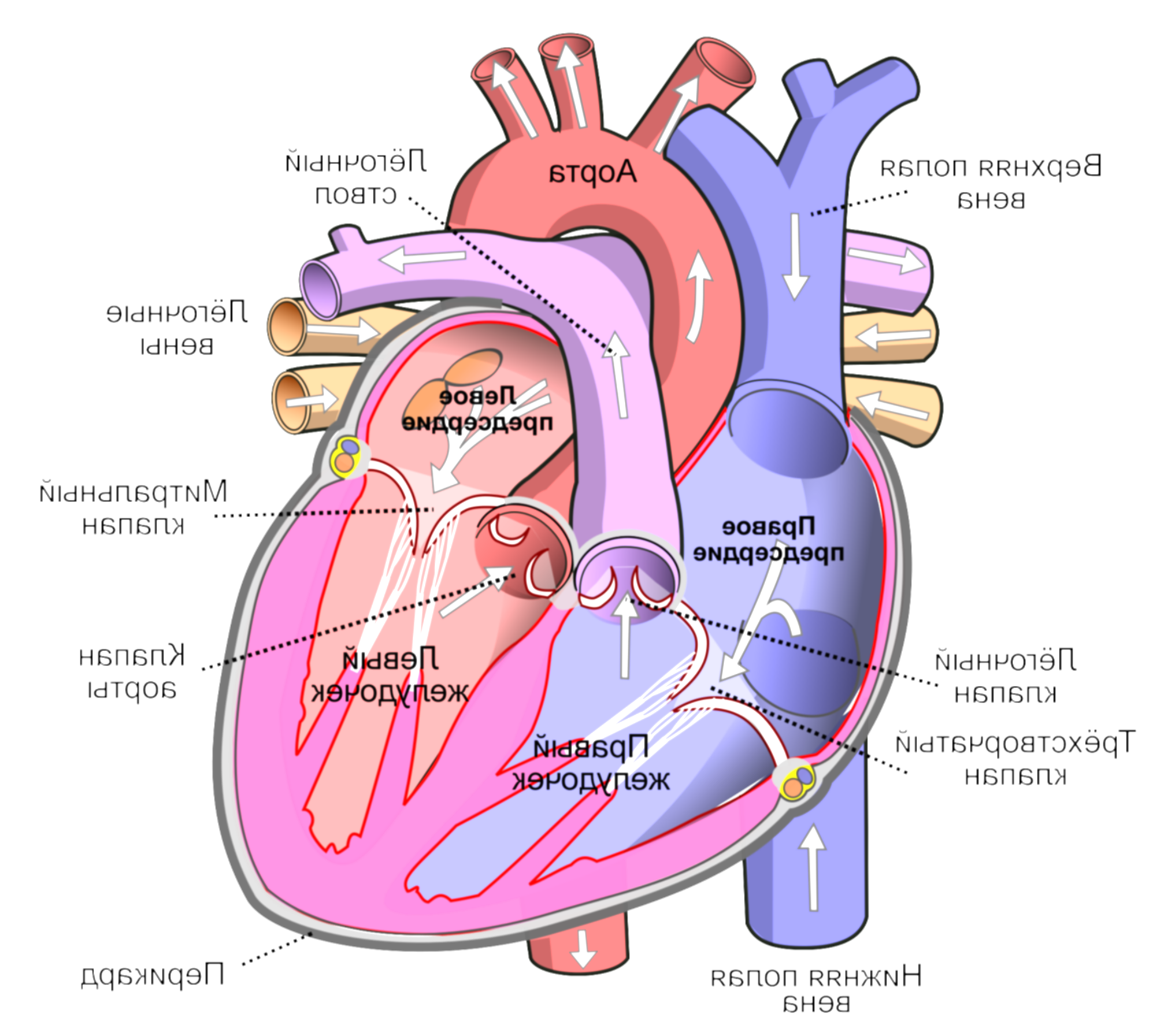 annotated drawing human heart