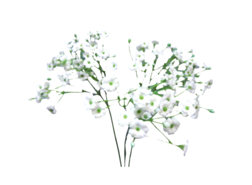 baby breath flower png