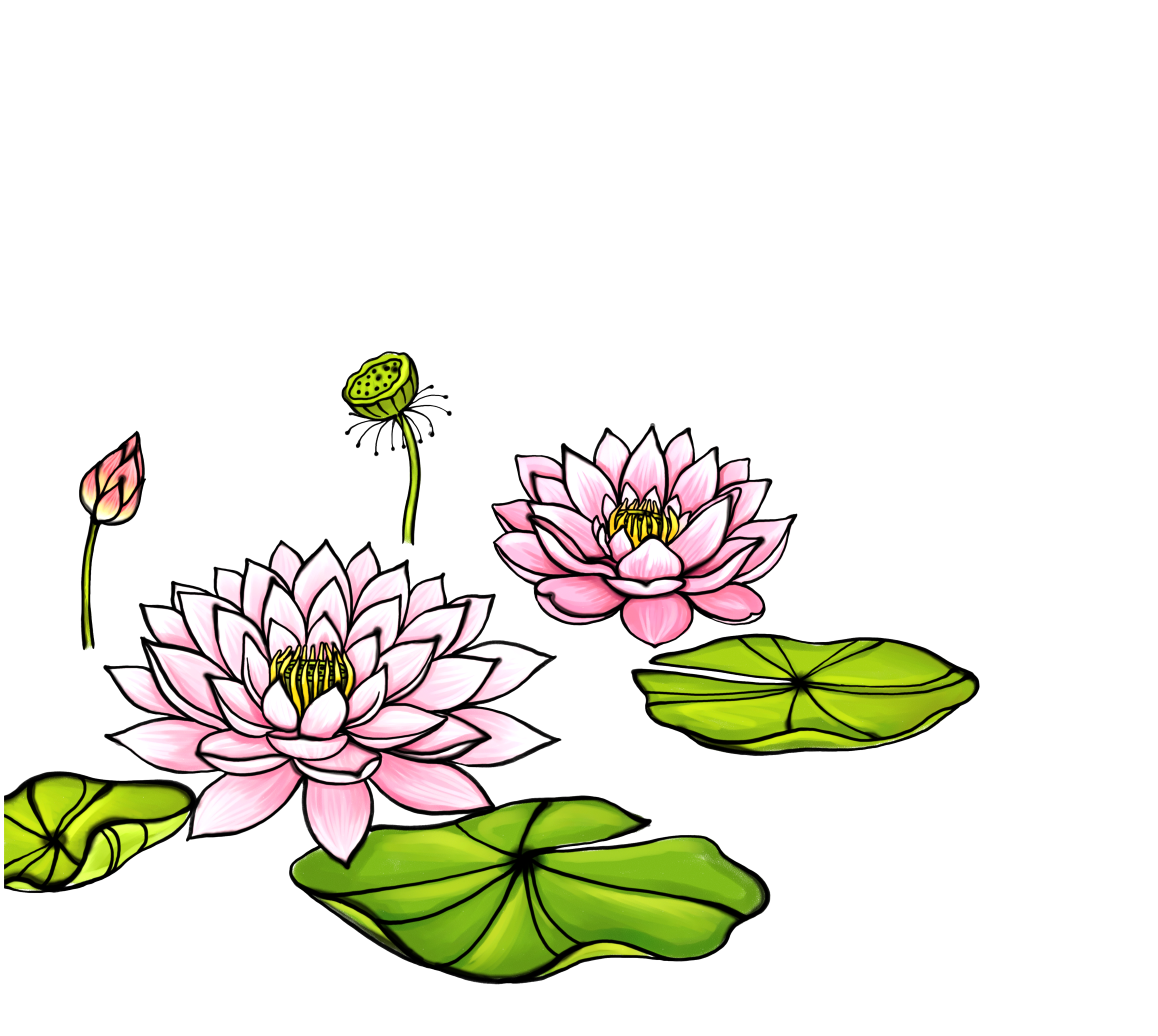 bud drawing water lily