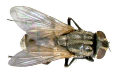 house fly png